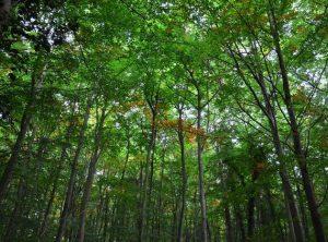 Japanese Forest for Shinrin-Yoku