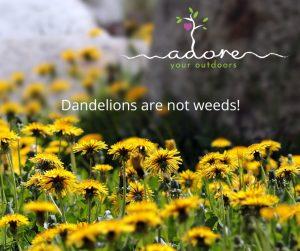 Dandelions are not weeds