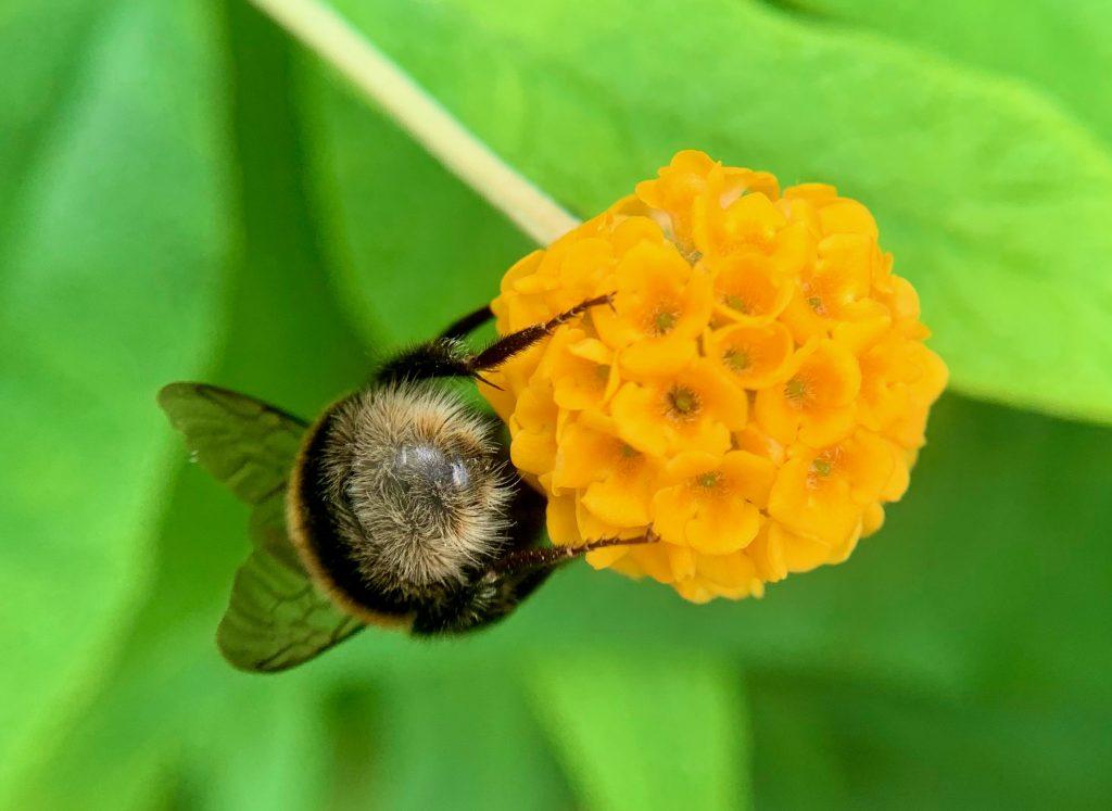 A bee's bottom on a buddleia globosa