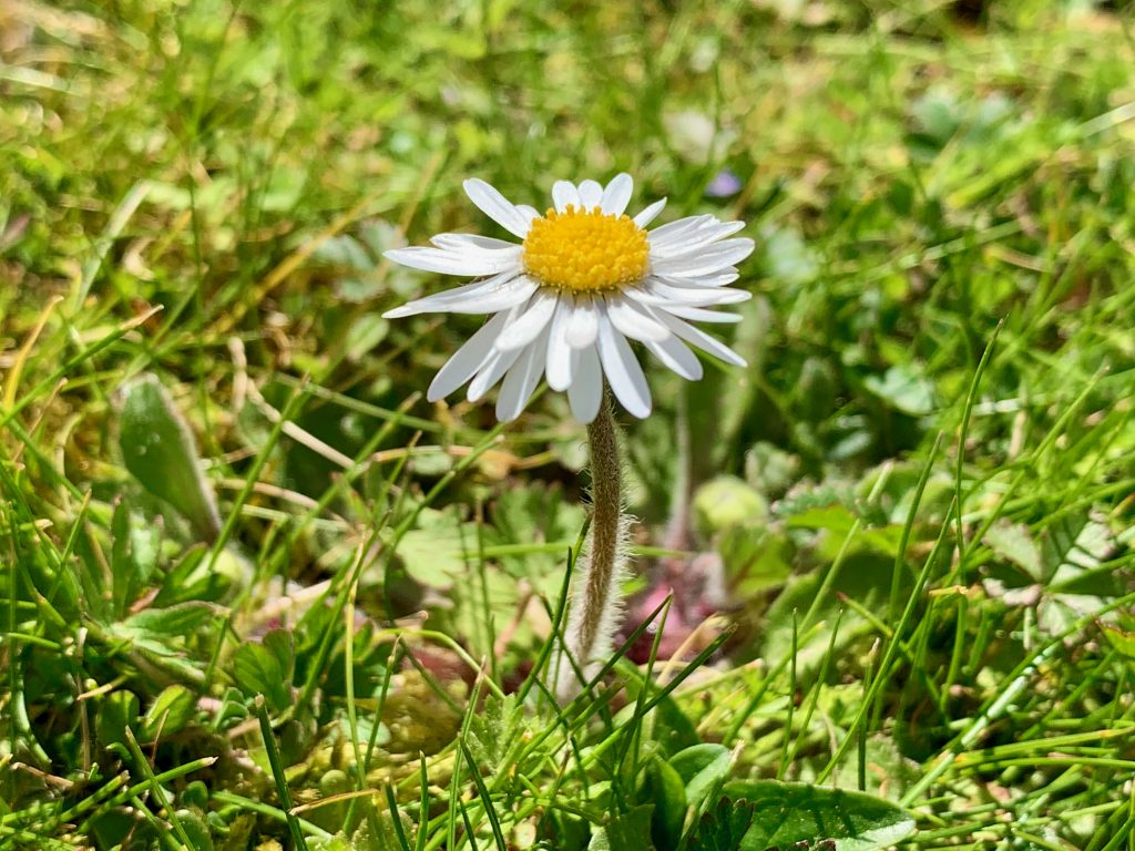 One of many daisies to be found in my lawn
